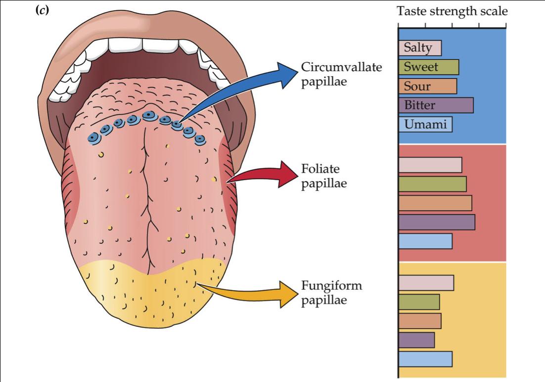 Printable Tongue Diagram Wiring Master Blogs Pumpkin Senses Database Library Rh 12 Arteciock De Cartoon